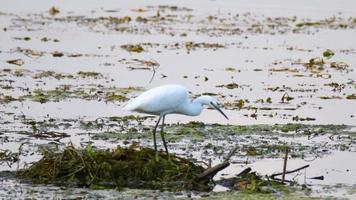 liten egretfågel i den sumpiga lagunen video