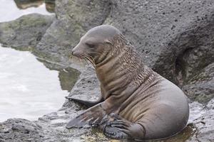 Baby Sea Lion on the Rocks photo