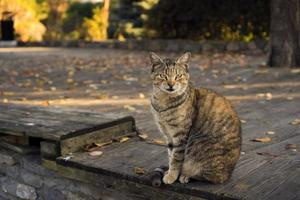 Tabby cat is sitting on a wooden floor at a park in an autumn day photo