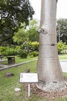 Adansonia digitata baobab con signo de información en Malasia. foto
