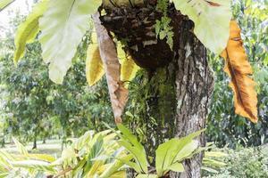 Rosy trumped tree Tabebuia rosea, Perdana Botanical Garden, Malaysia. photo
