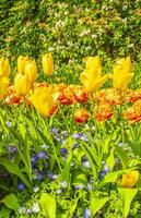 Colorful yellow tulips daffodils in Keukenhof park Lisse Netherlands. photo