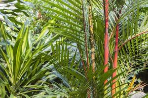 Young red yellow and green bamboo trees, Malaysia. photo