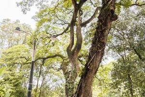 Tropical large overgrown tree in middle of Kuala Lumpur, Malaysia. photo