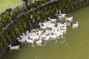 Muchos hermosos patos blancos en el jardín botánico de Perdana, Malasia. foto