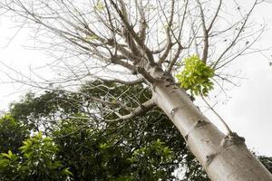 adansonia digitata baobab en la naturaleza tropical en malasia. foto