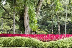 Bright pink-red plants, flowers and huge park tree, Malaysia. photo