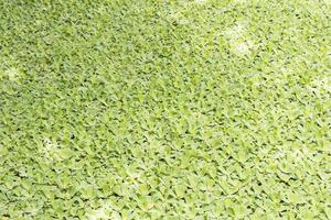 Texture of aquatic plants in pond river Perdana Botanical Garden. photo