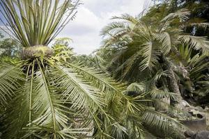 Special palm tree collection in Perdana Botanical Garden, Malaysia. photo
