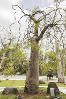 Moringa drouhardii botella árbol en la naturaleza tropical en Malasia. foto