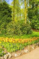 Colorful yellow tulips, daffodils in Keukenhof park, Lisse, Netherlands photo