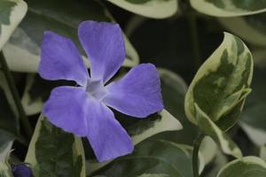 hojas verdes y flor hedera abierta en mi jardín foto
