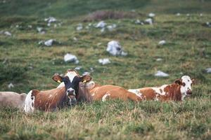 Algunas vacas en el suelo en la pradera de los Alpes italianos foto