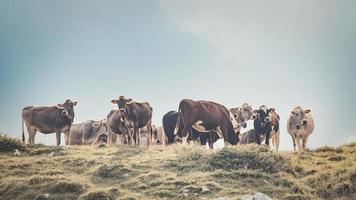 Grupo de vacas en una pastura italiana foto