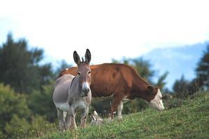 Burro cerca de vacas pastando en el norte de Italia foto