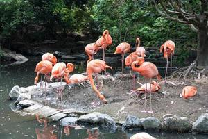 Flock of pink flamingos in pond photo