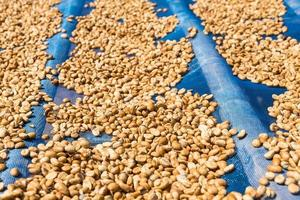 Coffee beans drying with the sun photo