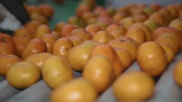 verse mandarijnen die langs een transportband bewegen video