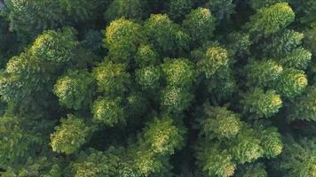 Top view of pine forest video