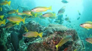 poissons jaunes mignons et énormes poissons anges noirs avec des anémones video