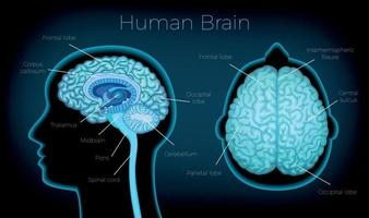 Human Brain Poster vector