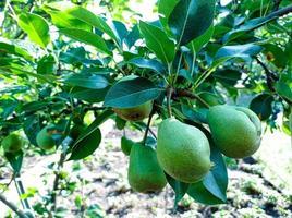 peras verdes inmaduras en una rama foto
