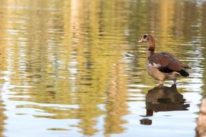 duck in a lake photo