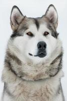 Alaskan Malamute sitting and looking into the distance photo