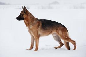 Shepherd warily looking ahead standing on snow photo
