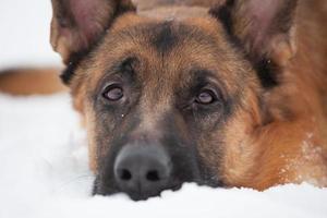 Chestnut Shepherd with sad snout photo