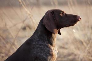 Hunting dog sits and stares into the distance photo