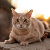 Redhead cat lies and stares at us photo