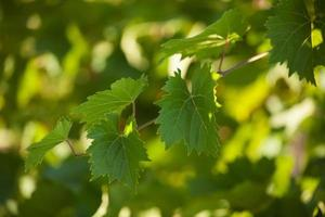 Vine with green leaves photo
