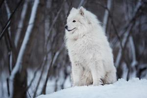 Dog sitting on the snow and looking ahead photo