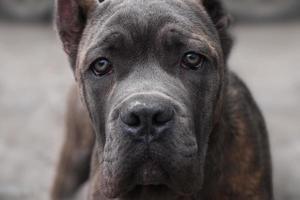 Dog Cane Corso looks directly into the camera photo