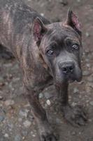 Puppy Cane Corso photo