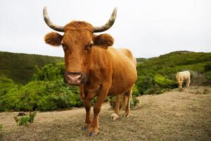 Red cow with big horns curves photo