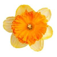 capullo florecido narciso amarillo foto