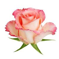 gran capullo de rosas florecidas foto