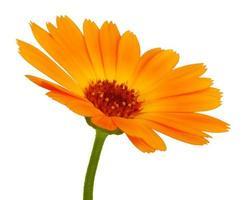 flor de margarita naranja con pétalos foto