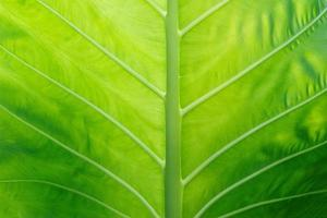 Colocasia texture green leaf for background photo