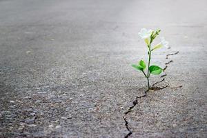 flor blanca que crece en la calle crack, enfoque suave, texto en blanco foto