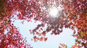 feuille rouge et arbre en automne video