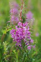 Purple fireweed flowers among wildflowers photo