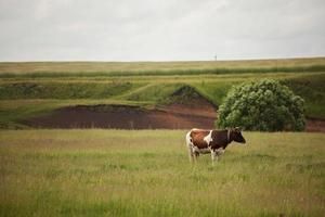 Cow stands on a meadow and looking somewhere photo