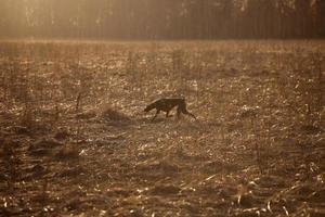 Hunting dog running across the field photo