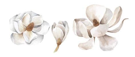 Set of white magnolia. Watercolor illustration. vector