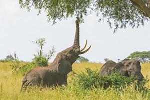 elefante obteniendo comida de un árbol de acacia foto