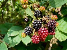 ripe blackberries in a garden - close up photo