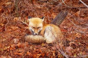 el pequeño zorro yacía sobre las hojas del bosque foto